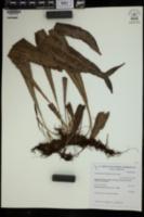 Image of Campyloneurum lapathifolium