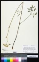 Angelica dentata image