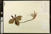 Image of Trillium maculatum