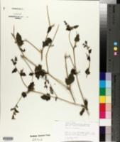 Mentzelia oligosperma image