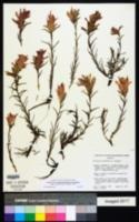 Castilleja kaibabensis image