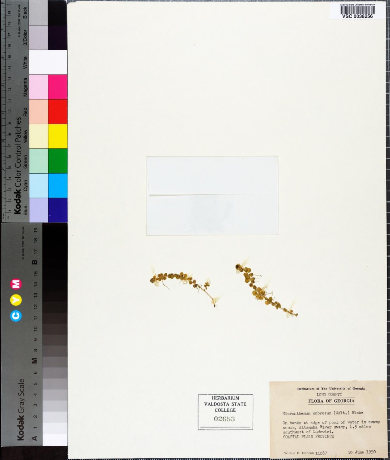 Micranthemum image