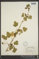 Image of Rubus neo-mexicanus