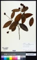 Caraipa densifolia subsp. densifolia image