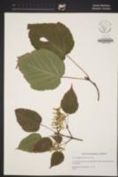 Acer capillipes image