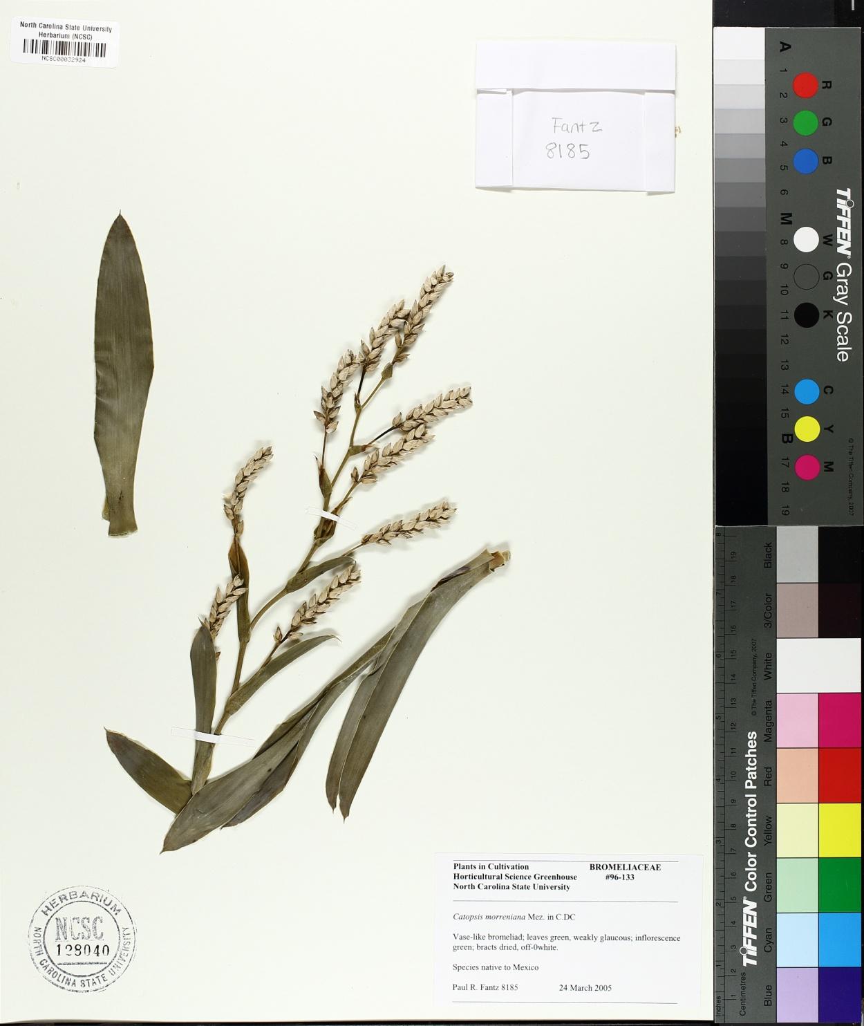 Catopsis morreniana image