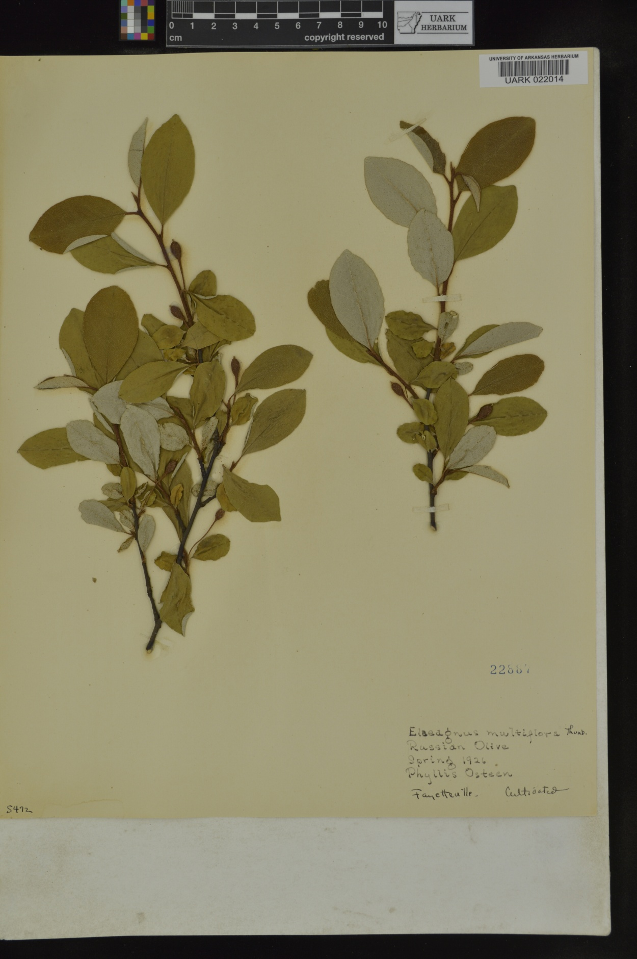 Elaeagnus multiflora image