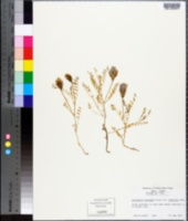 Image of Astragalus laxmannii