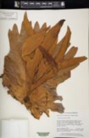 Image of Platycerium coronarium