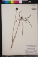 Rudbeckia graminifolia image