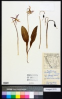 Erythronium revolutum image