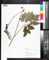 Image of Actaea podocarpa