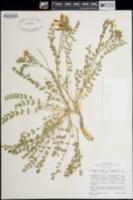 Astragalus oophorus var. caulescens image