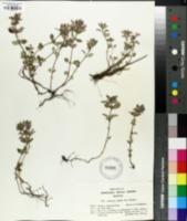 Image of Clinopodium alpinum