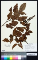 Image of Dialium guineense
