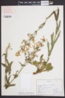 Penstemon australis image