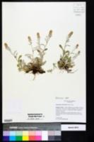 Image of Gamochaeta chionesthes