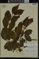 Cornus obliqua image