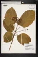 Image of Sterculia ceramica