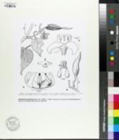 Image of Pentarrhinum balense