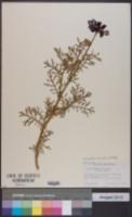Image of Glebionis carinatum