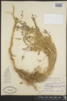 Image of Astragalus dactylocarpus