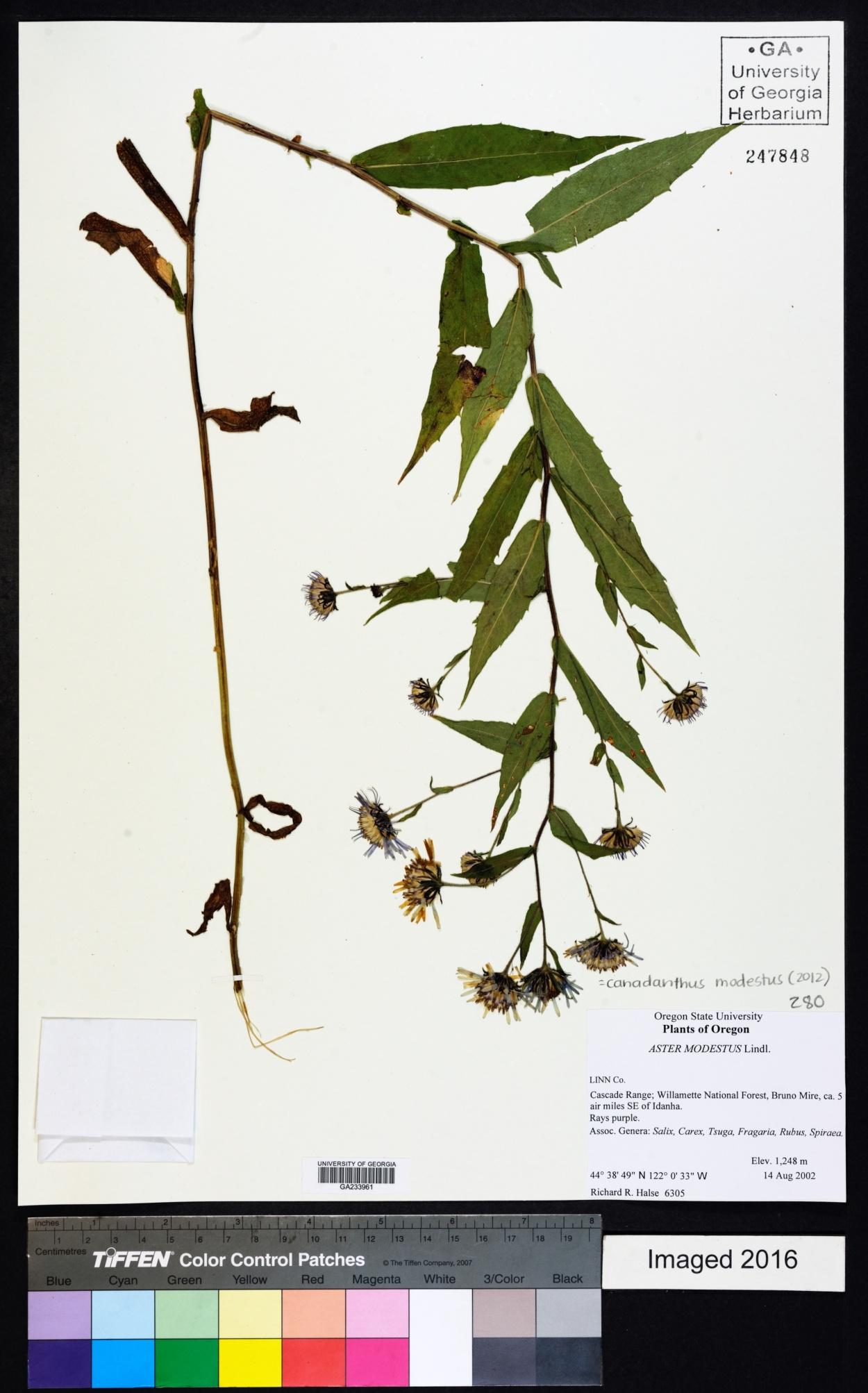 Canadanthus image