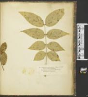 Mycosphaerella berkeleyi image