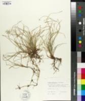 Image of Carex physorhyncha
