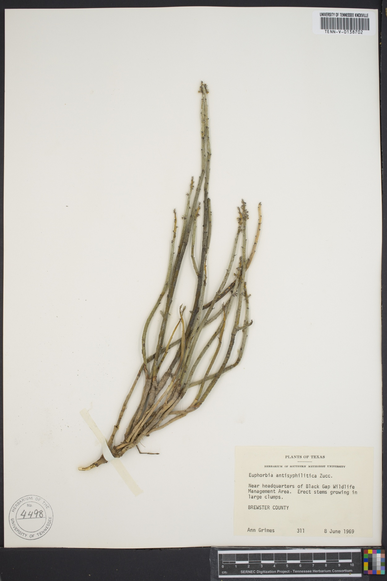 Euphorbia antisiphylitica image