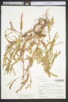 Image of Phyllanthus amarus