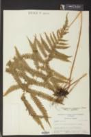 Thelypteris augescens image