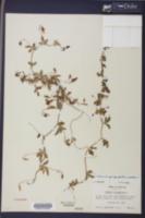 Merremia quinquefolia image