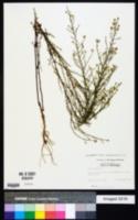 Symphyotrichum dumosum image