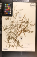 Mimosa microphylla image