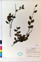 Camellia fraterna image