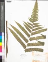 Image of Cnemidaria choricarpa