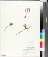 Sedum glaucophyllum image