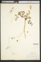 Adlumia fungosa image