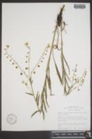 Image of Hackelia arida
