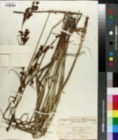 Image of Rhynchospora schoenoides