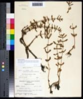 Ammannia latifolia image