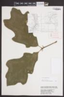 Quercus pagoda image