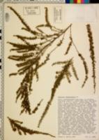 Image of Astartea fascicularis