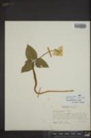Image of Pseudotrillium rivale