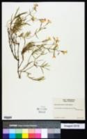 Phlox speciosa subsp. nitida image