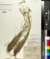 Dichanthium sericeum image