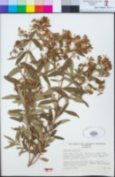 Hypericum canariense image