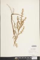 Image of Ludwigia alata