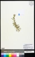 Image of Cupressus dupreziana